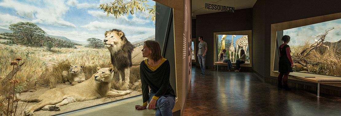 Blick in einen Ausstellungsbereich mit Dioramen und mehreren Besuchern. Im linken Vordergrund ein Diorama mit drei präparierten Löwen.