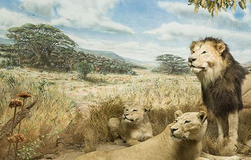 Drei präparierte Löwen in einer Savannenlandschaft