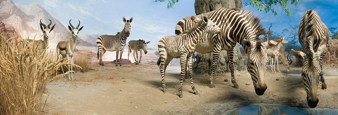 Präparierte Zebras vor künstlichem Himmel