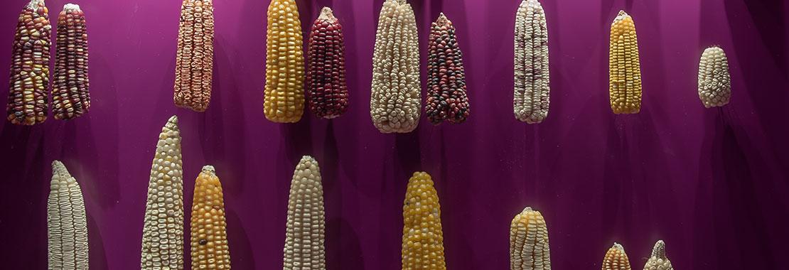 Viele verschiedene Maiskolben, die in einer Vitrine zu sehen sind.