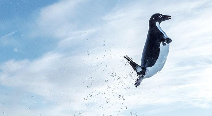Springender Pinguin