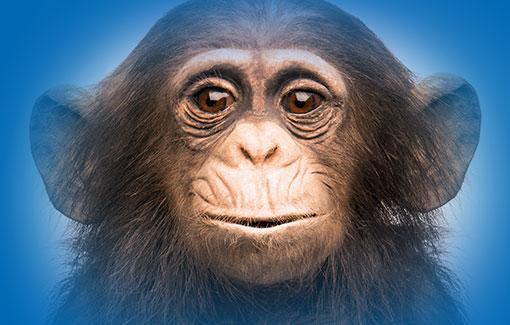 Kopf eines präparierten Schimpansen vor blauem Hintergrund