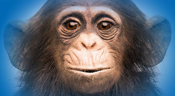 Präparierter Schimpanse