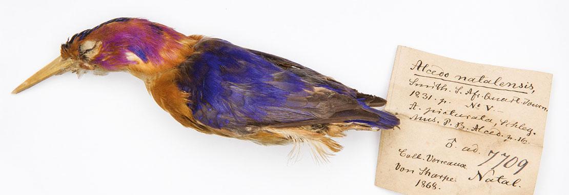 Vogelbalg mit einem Etikett