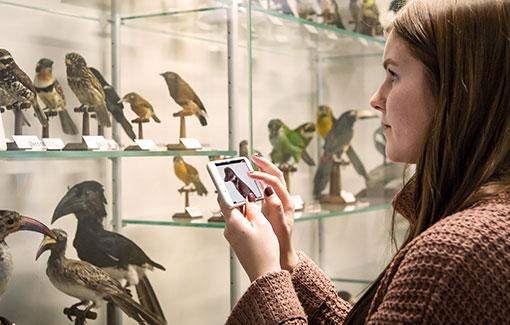 Eine junge Frau steht vor einer Vitrine mit vielen Vögelpräparaten. In ihrer Hand hält sie ein Smartphone, auf dem sie den Mediaguide bedient.