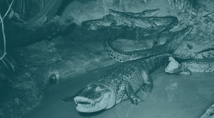 Krokodile in einem Raum mit Tümpel, Steinen und Pflanzen