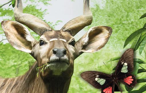 Ein Nyala, im Vordergrund ein Schmetterling