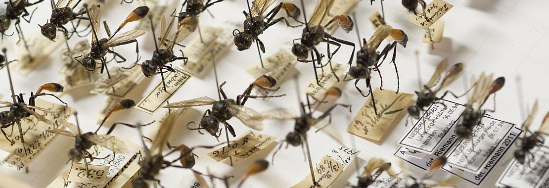 Insekten mit Etiketten in einem Insektenkasten