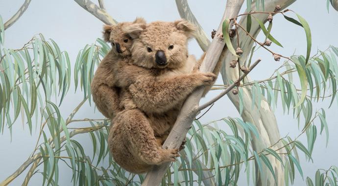 Ein Koala mit Jungtier auf dem Rücken sitzt auf dem Ast eines Eukalyptus.